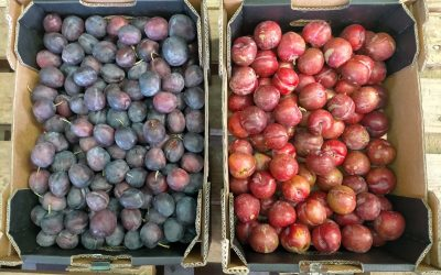 Plum boxes available